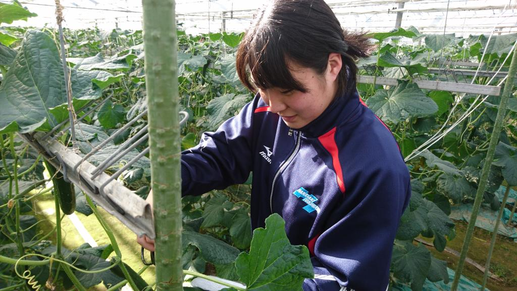 きゅうりの収穫体験